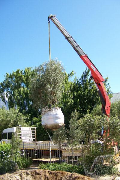 Olive-Planting1