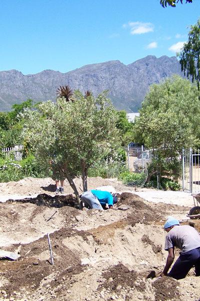 Olive-Planting2