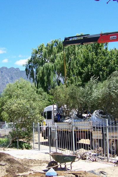 Olive-Planting3